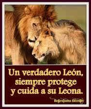imagenes de leones juntos